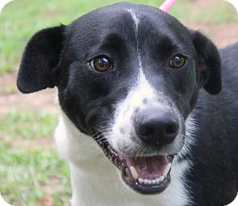Border Collie Mix Dog for adoption in Yardley, Pennsylvania - Willard A Celebrate Home Dog!  Lower Fee!