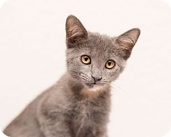 Domestic Shorthair Kitten for adoption in Fountain Hills, Arizona - Ashen
