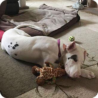 Great Dane Puppy for adoption in St. Louis, Missouri - Angel