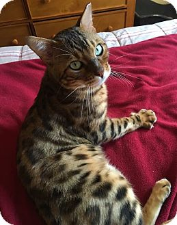 Bengal Kitten for adoption in Mount Laurel, New Jersey - Ramesses the Great