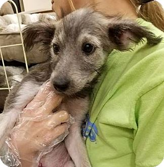 Terrier (Unknown Type, Small) Mix Puppy for adoption in Las Vegas, Nevada - Tess's Tequila