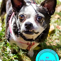 Chihuahua Mix Dog for adoption in Staten Island, New York - Bossy