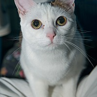 Domestic Shorthair Cat for adoption in New York, New York - Frances
