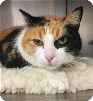 Domestic Shorthair Cat for adoption in Sherwood, Oregon - Velma