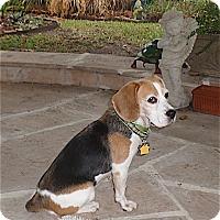 Adopt A Pet :: Dori-Adorable! - Houston, TX