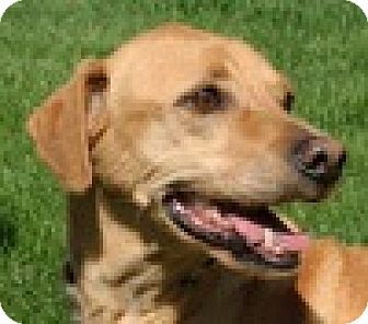 Hound (Unknown Type)/Labrador Retriever Mix Dog for adoption in Portola, California - Mr. B