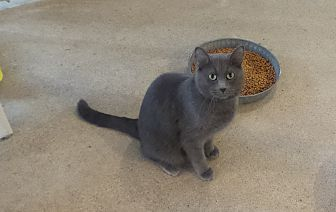 Domestic Shorthair Cat for adoption in Geneseo, Illinois - Rodeo