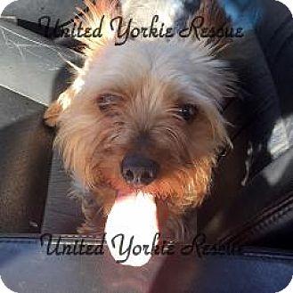 Yorkie, Yorkshire Terrier Dog for adoption in Skokie, Illinois - Wrigley