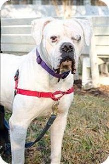 American Bulldog Dog for adoption in Charlottesville, Virginia - Magnus
