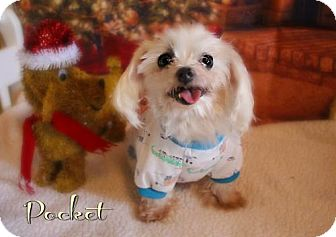 Maltese Dog for adoption in Benton, Louisiana - Pocket