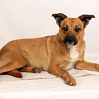 Adopt A Pet :: Andi Heeler Boxer Mix - St. Louis, MO