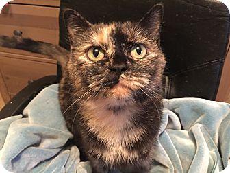 Domestic Shorthair Cat for adoption in Burlington, Ontario - Tootsie