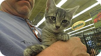 Domestic Shorthair Kitten for adoption in Warren, Michigan - Mayham