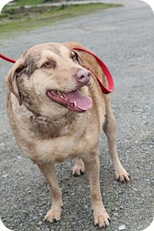 Chesapeake Bay Retriever Mix Dog for adoption in Grants Pass, Oregon - Cara