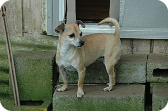 Chihuahua Mix Dog for adoption in Crump, Tennessee - Candy