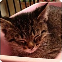 Adopt A Pet :: Kittten - Wenatchee, WA