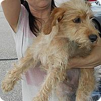 Adopt A Pet :: Terrier Mix Puppy - Cooper - Midlothian, VA