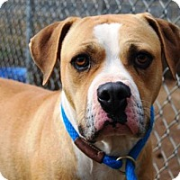 Adopt A Pet :: Cooper - Huntersville, NC