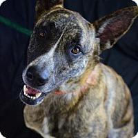 Adopt A Pet :: Simba - Bradenton, FL