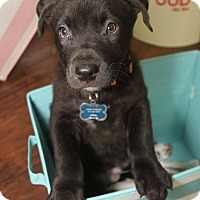 Shepherd (Unknown Type) Mix Puppy for adoption in Detroit, Michigan - Elroy-MISSING