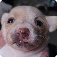 Adopt A Pet :: Jasper - Henderson, NV