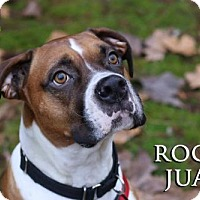 Boxer Dog for adoption in Woodinville, Washington - Rocky Juan