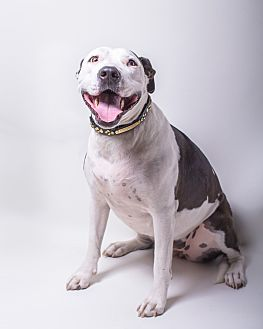 American Pit Bull Terrier/American Staffordshire Terrier Mix Dog for adoption in Los Angeles, California - Princess Daisy
