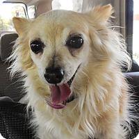 Adopt A Pet :: Honey - Gilbert, AZ