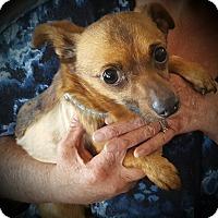 Adopt A Pet :: Rusty - Santa Maria, CA