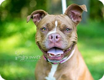 Boxer/Pit Bull Terrier Mix Dog for adoption in Reisterstown, Maryland - Brownie