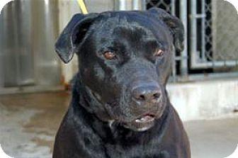 American Bulldog/Labrador Retriever Mix Dog for adoption in Mountain Home, Arkansas - Buster