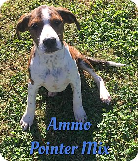 German Shorthaired Pointer Mix Puppy for adoption in Cheney, Kansas - Ammo