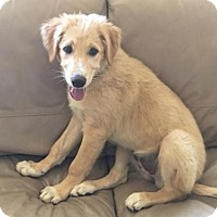 Anatolian Shepherd Mix Puppy for adoption in Seattle, Washington - Shadoo - Anatolian Mix Pup *courtesy post*