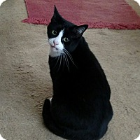 Domestic Shorthair Cat for adoption in LaGrange, Kentucky - Bootie
