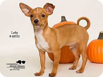 Chihuahua Mix Puppy for adoption in Baton Rouge, Louisiana - Lefty  (Foster Care)