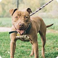 Terrier (Unknown Type, Medium)/Pit Bull Terrier Mix Dog for adoption in Cleveland, Ohio - Balthazar