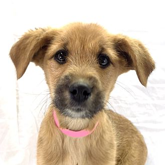 Trinidad, CO - Airedale Terrier/German Shepherd Dog Mix ...