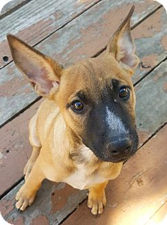 German Shepherd Dog Mix Puppy for adoption in Dallas, Texas - Merci