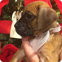 Boxer Puppy for adoption in Hurst, Texas - Cricket Carol