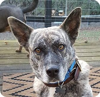 Dutch Shepherd Mix Dog for adoption in Fort Atkinson, Wisconsin - Tiger