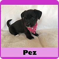 Adopt A Pet :: Pez - Medford, NJ
