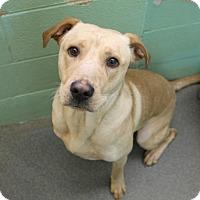 Adopt A Pet :: Van Gogh - Greensboro, NC