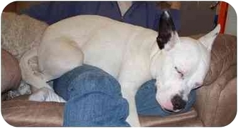 Australian Cattle Dog/Bull Terrier Mix Dog for adoption in Milwaukee, Wisconsin - Chewy