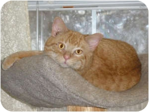 Domestic Shorthair Cat for adoption in Marion, Wisconsin - Butch