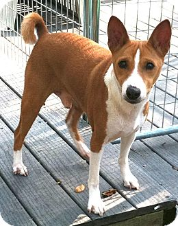 Basenji Dog for adoption in Seminole, Florida - Jack