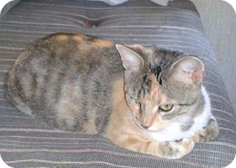 Calico Cat for adoption in Acme, Pennsylvania - Mamma Kitty