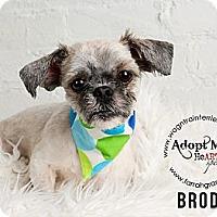 Adopt A Pet :: Brody - Omaha, NE