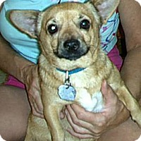 Chihuahua Mix Dog for adoption in Phoenix, Arizona - Pancho