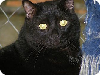 Domestic Shorthair Cat for adoption in East Smithfield, Pennsylvania - Raven