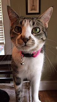 Domestic Shorthair Cat for adoption in Dallas, Texas - Squeak
